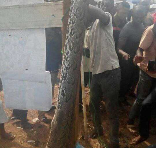 A Huge  Reptile  Swallowed  A  Dog  Before  It  Was  Gunned  Down  By  The  Owner, Oba, Anambrastate